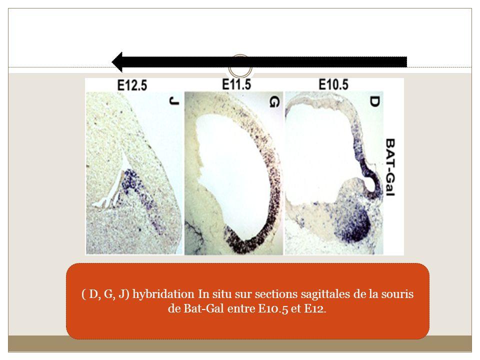 ( D, G, J) hybridation In situ sur sections sagittales de la souris de Bat-Gal entre E10.5 et E12.