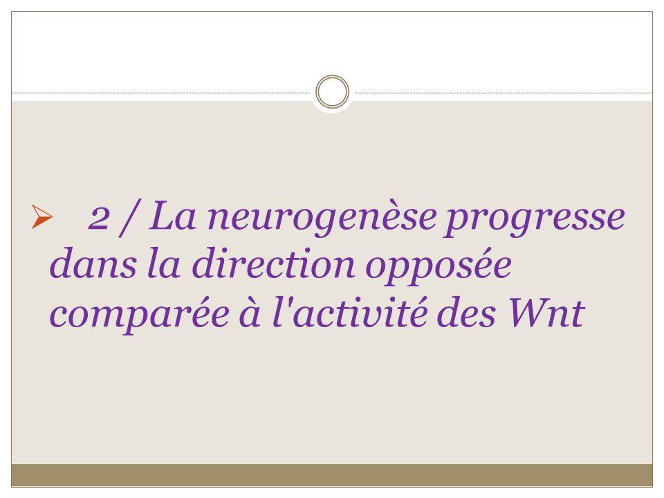 2 / La neurogenèse progresse dans la direction opposée comparée à l activité des Wnt