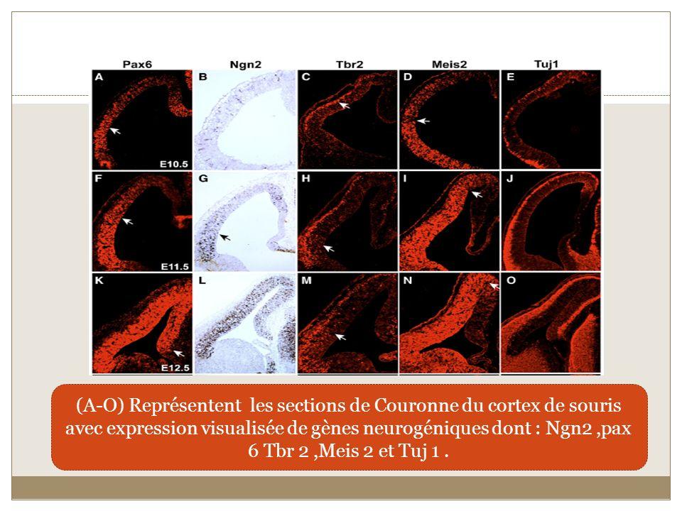 (A-O) Représentent les sections de Couronne du cortex de souris avec expression visualisée de gènes neurogéniques dont : Ngn2 ,pax 6 Tbr 2 ,Meis 2 et Tuj 1 .