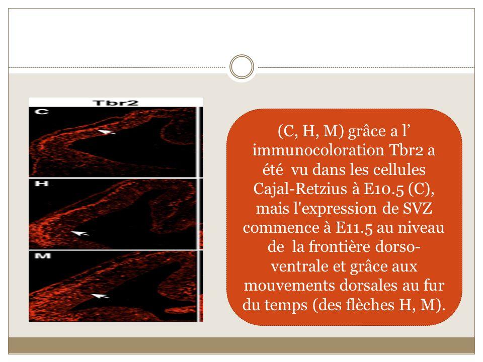 (C, H, M) grâce a l' immunocoloration Tbr2 a été vu dans les cellules Cajal-Retzius à E10.5 (C), mais l expression de SVZ commence à E11.5 au niveau de la frontière dorso-ventrale et grâce aux mouvements dorsales au fur du temps (des flèches H, M).
