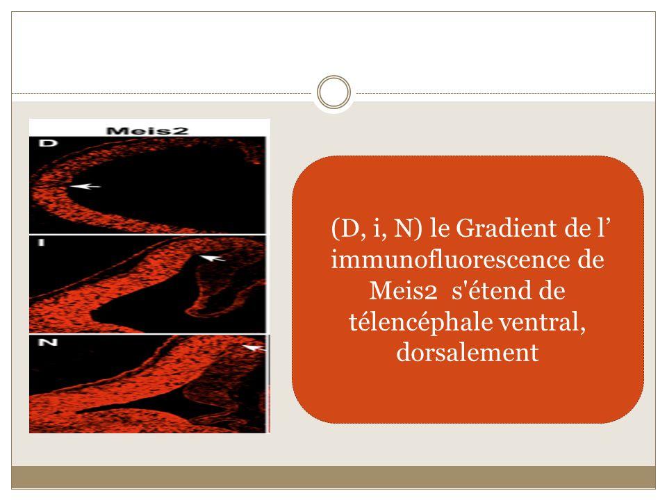 (D, i, N) le Gradient de l' immunofluorescence de Meis2 s étend de télencéphale ventral, dorsalement