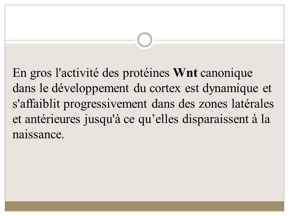 En gros l activité des protéines Wnt canonique dans le développement du cortex est dynamique et s affaiblit progressivement dans des zones latérales et antérieures jusqu à ce qu'elles disparaissent à la naissance.