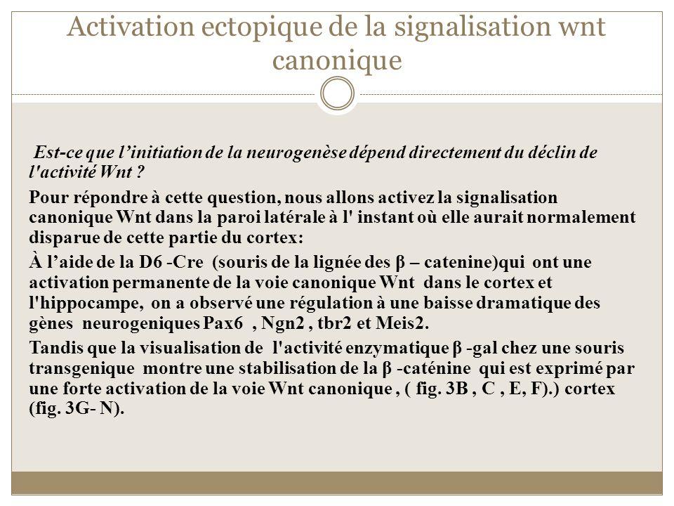 Activation ectopique de la signalisation wnt canonique