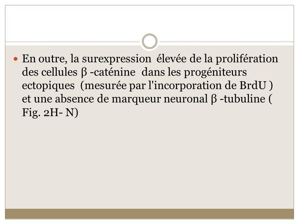En outre, la surexpression élevée de la prolifération des cellules β -caténine dans les progéniteurs ectopiques (mesurée par l incorporation de BrdU ) et une absence de marqueur neuronal β -tubuline ( Fig.