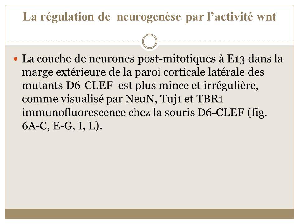 La régulation de neurogenèse par l'activité wnt