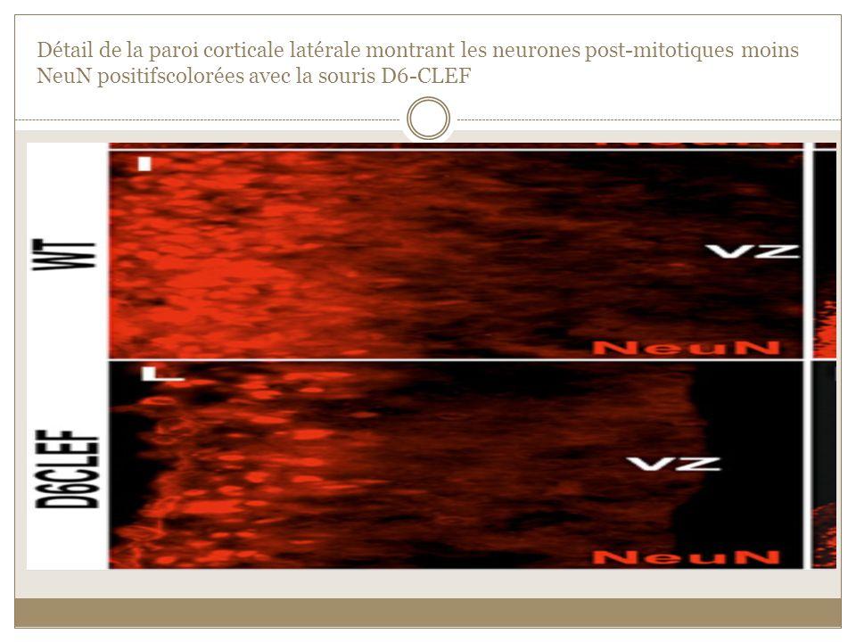 Détail de la paroi corticale latérale montrant les neurones post-mitotiques moins NeuN positifscolorées avec la souris D6-CLEF