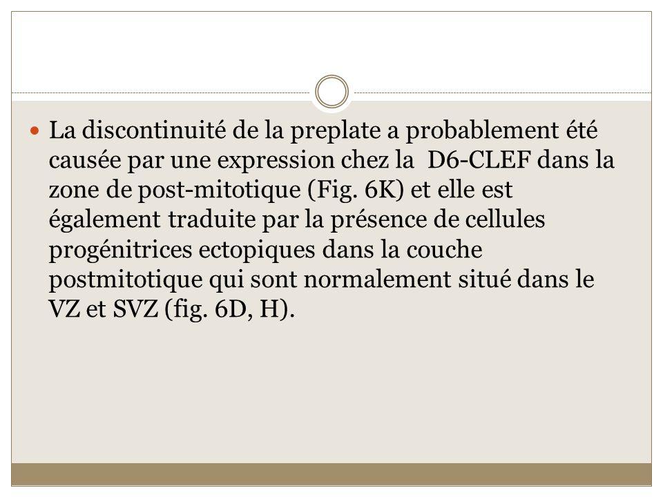 La discontinuité de la preplate a probablement été causée par une expression chez la D6-CLEF dans la zone de post-mitotique (Fig.
