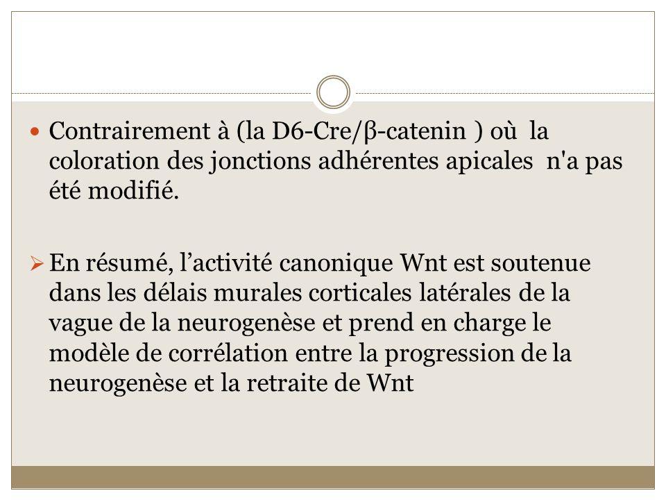 Contrairement à (la D6-Cre/β-catenin ) où la coloration des jonctions adhérentes apicales n a pas été modifié.