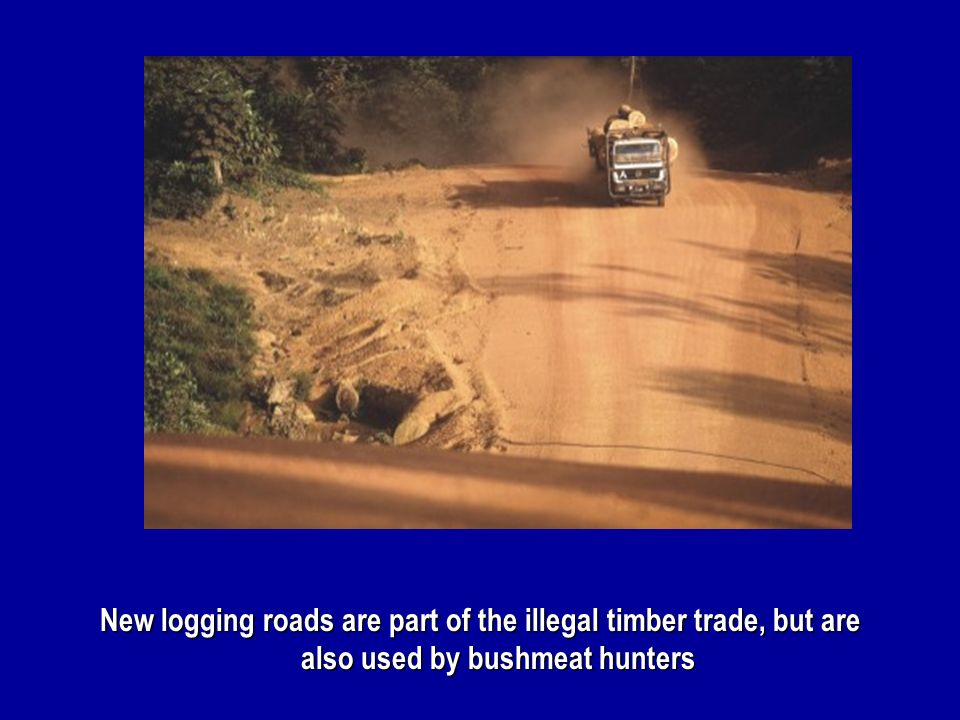 New logging roads are part of the illegal timber trade, but are also used by bushmeat hunters