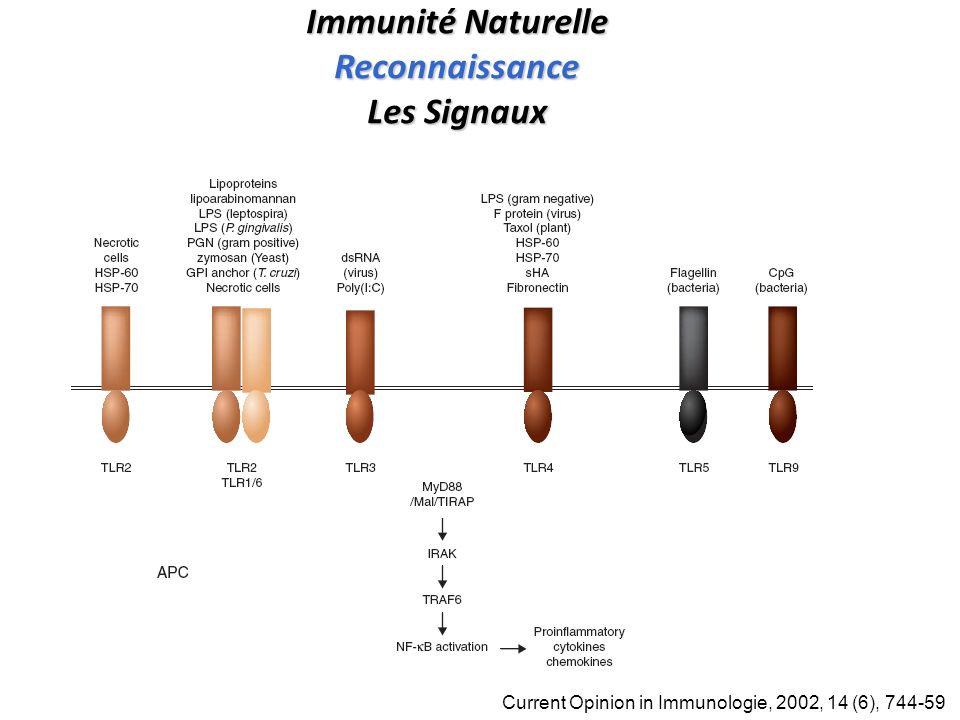Immunité Naturelle Reconnaissance Les Signaux