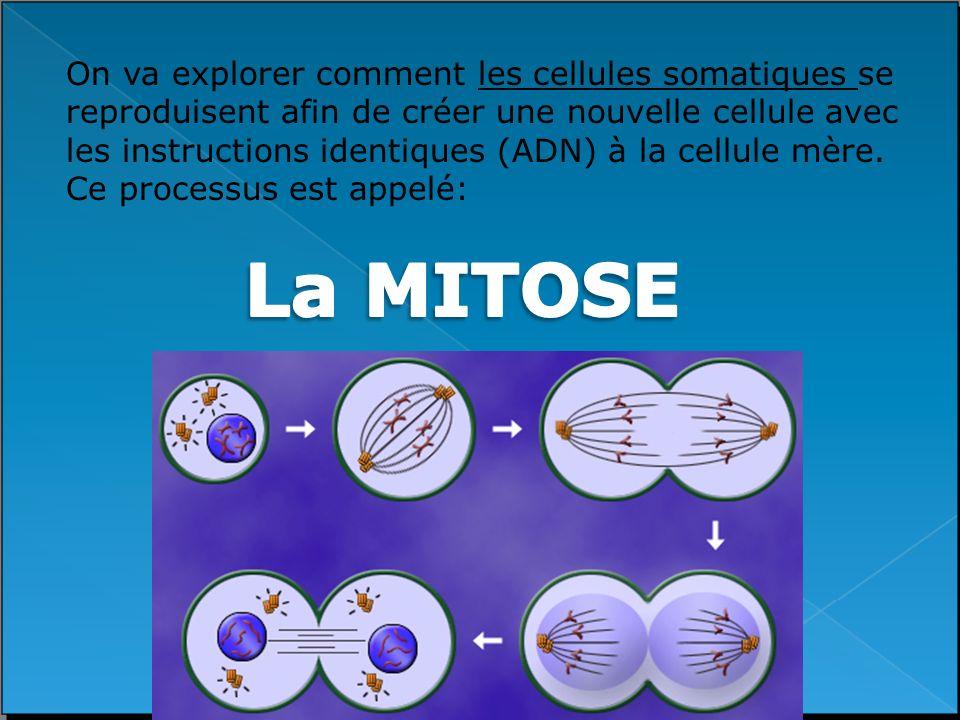 On va explorer comment les cellules somatiques se reproduisent afin de créer une nouvelle cellule avec les instructions identiques (ADN) à la cellule mère. Ce processus est appelé: