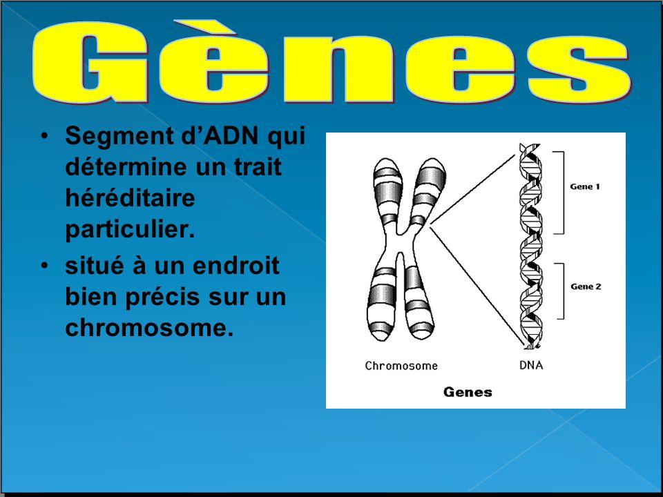 Gènes Segment d'ADN qui détermine un trait héréditaire particulier.