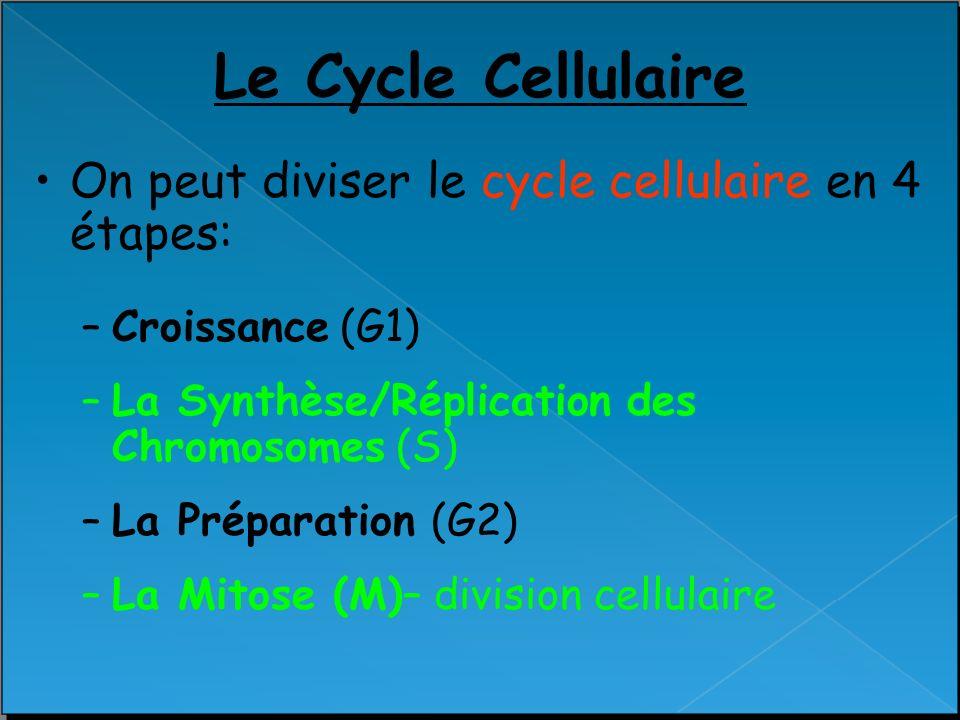 Le Cycle Cellulaire On peut diviser le cycle cellulaire en 4 étapes: