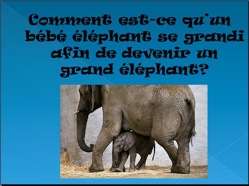 Comment est-ce qu'un bébé éléphant se grandi afin de devenir un grand éléphant
