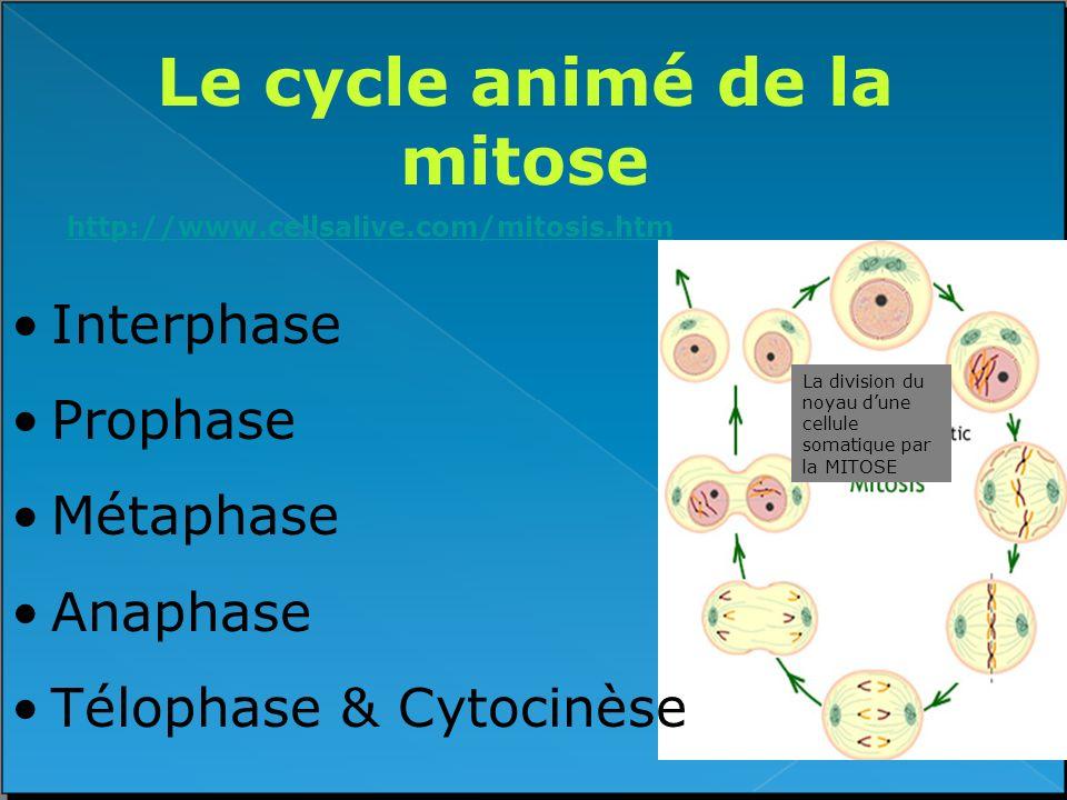 Le cycle animé de la mitose