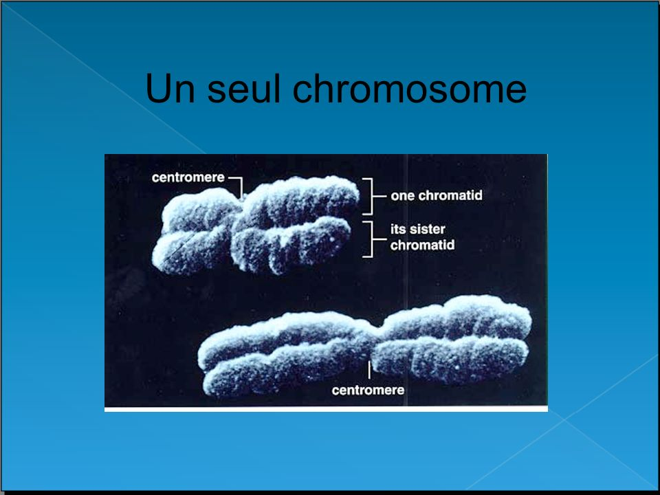 Un seul chromosome