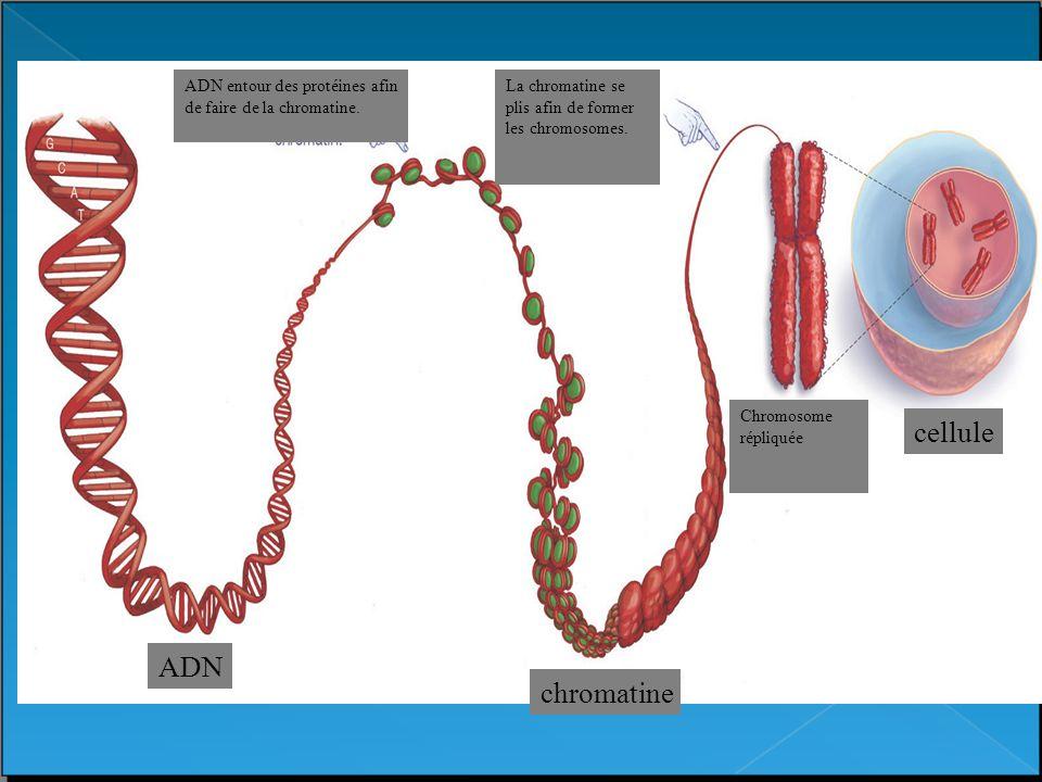 cellule ADN chromatine chromatin