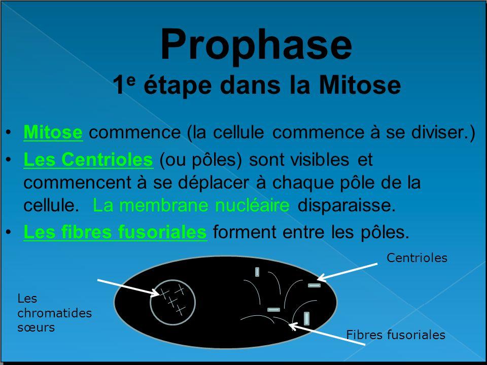 Prophase 1e étape dans la Mitose