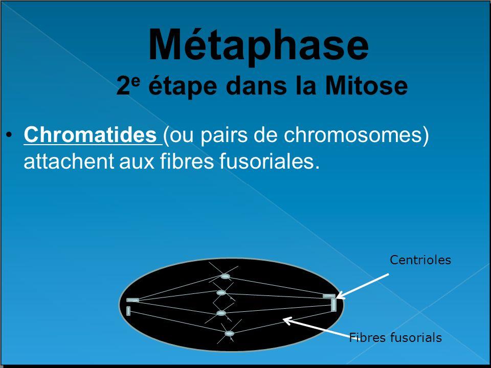 Métaphase 2e étape dans la Mitose