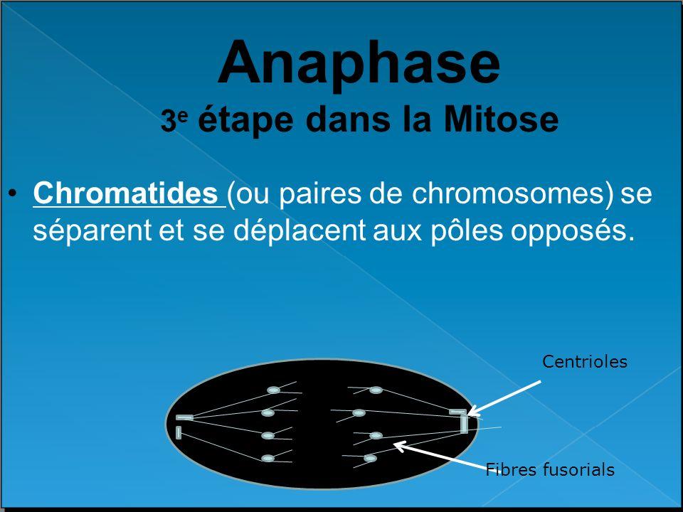 Anaphase 3e étape dans la Mitose