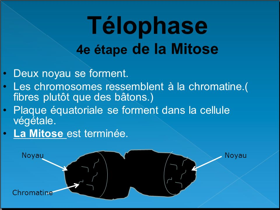 Télophase 4e étape de la Mitose