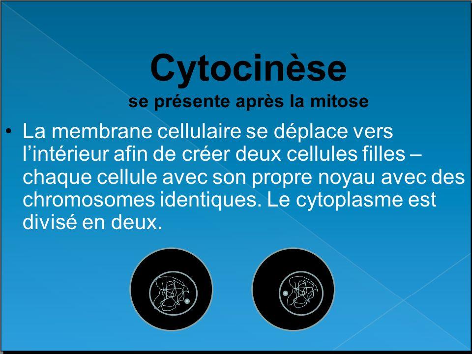 Cytocinèse se présente après la mitose