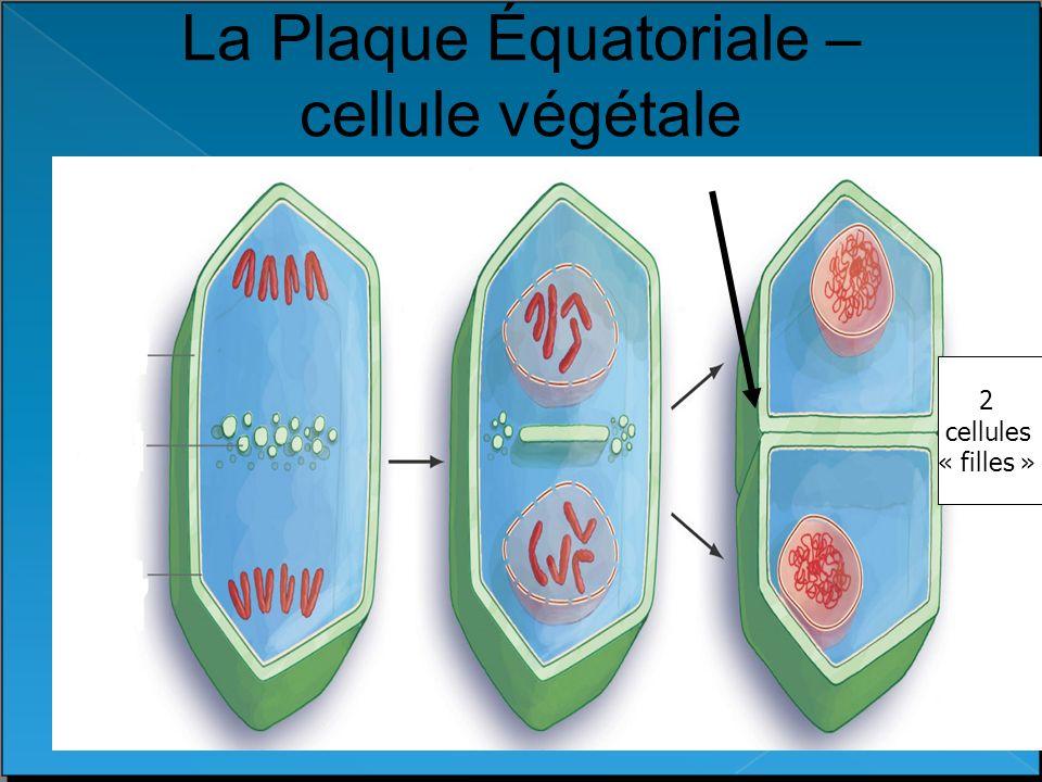 La Plaque Équatoriale – cellule végétale
