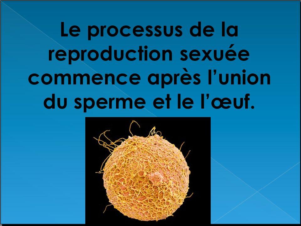 Le processus de la reproduction sexuée commence après l'union du sperme et le l'œuf.