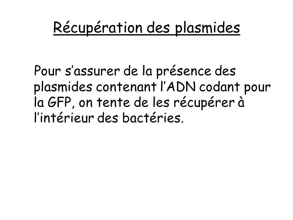 Récupération des plasmides
