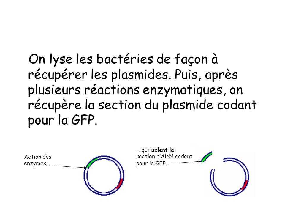On lyse les bactéries de façon à récupérer les plasmides