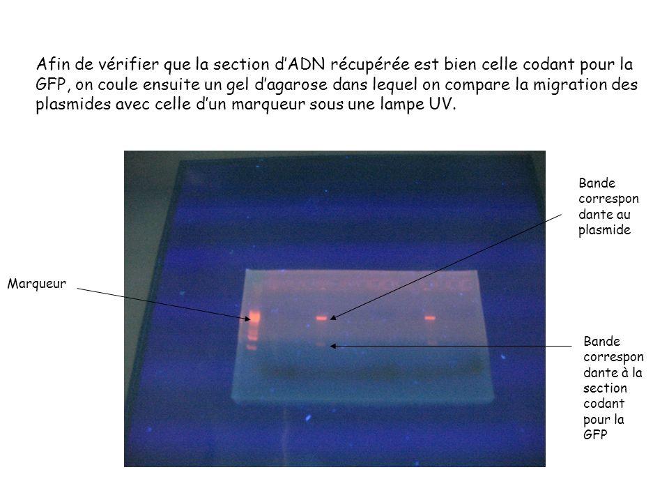 Afin de vérifier que la section d'ADN récupérée est bien celle codant pour la GFP, on coule ensuite un gel d'agarose dans lequel on compare la migration des plasmides avec celle d'un marqueur sous une lampe UV.