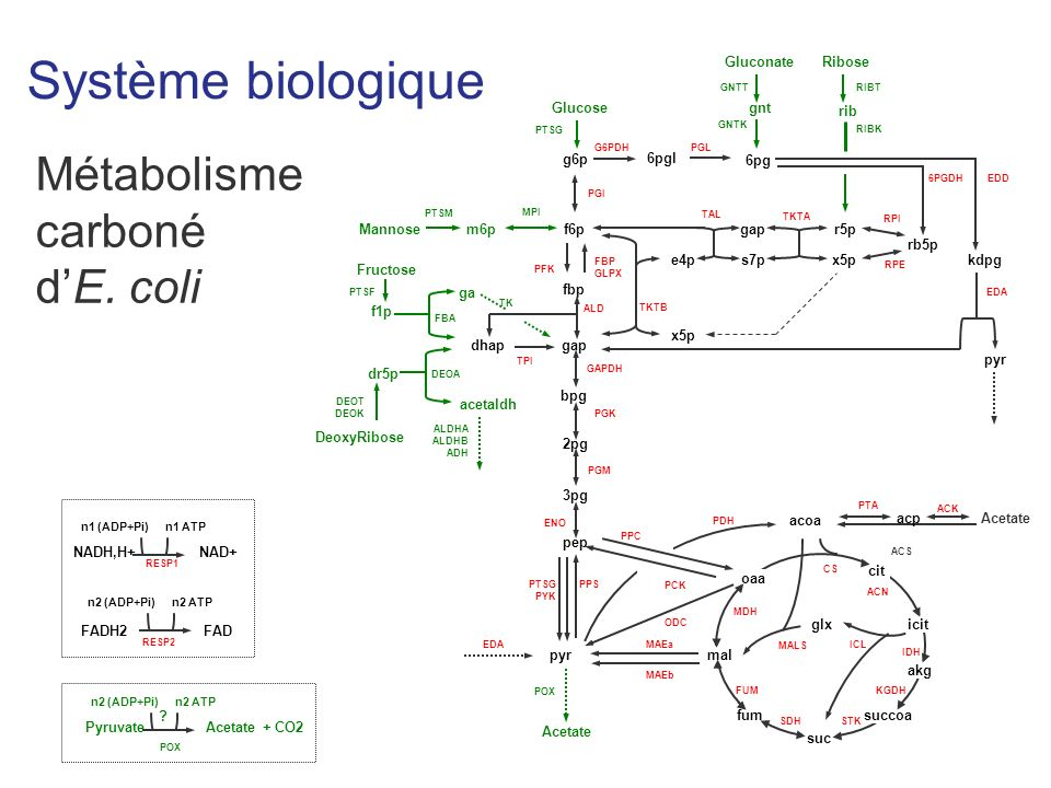Système biologique Métabolisme carboné d'E. coli Glucose g6p 6pgl rb5p