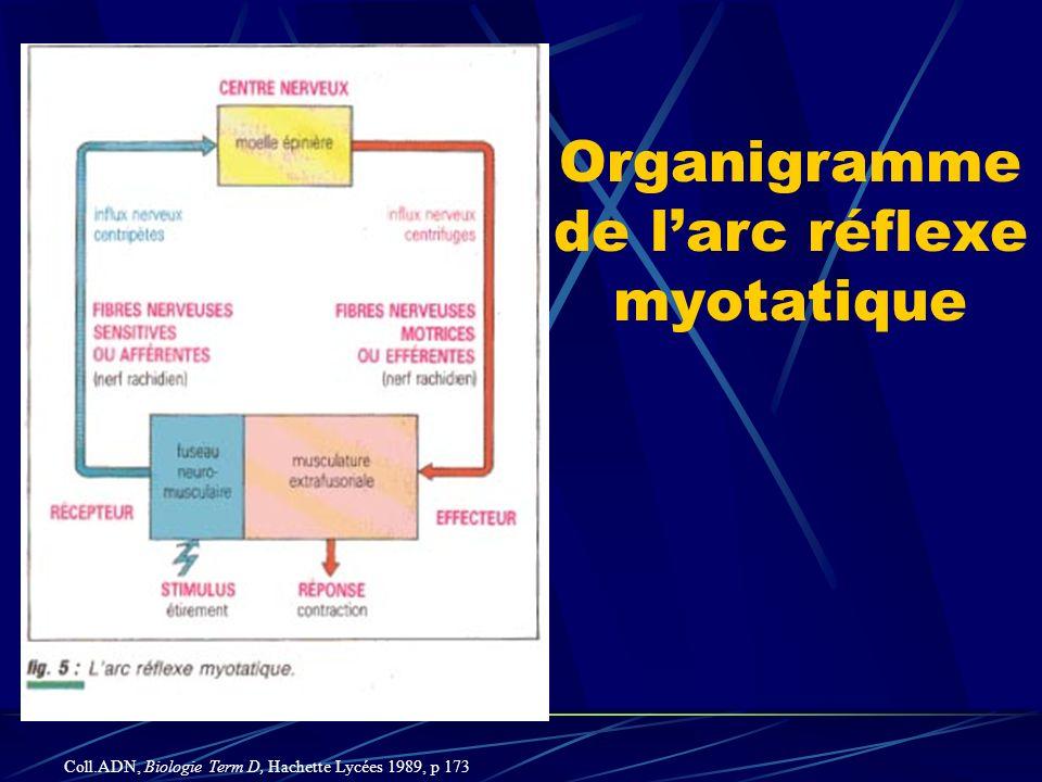 Organigramme de l'arc réflexe myotatique