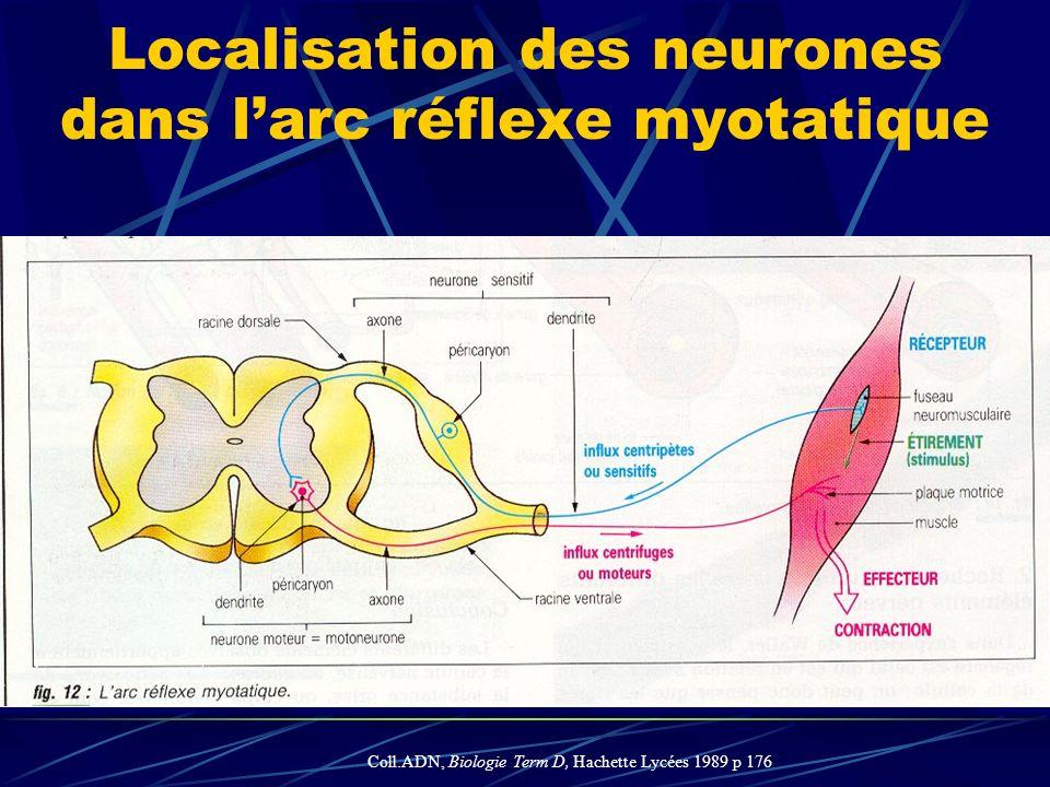 Localisation des neurones dans l'arc réflexe myotatique