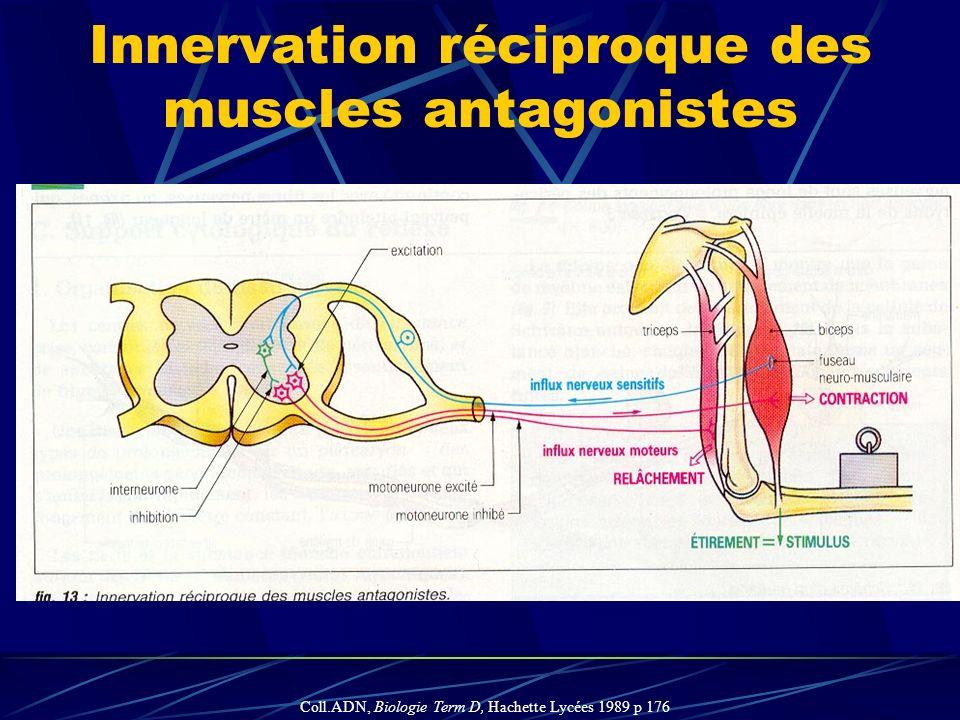 Innervation réciproque des muscles antagonistes