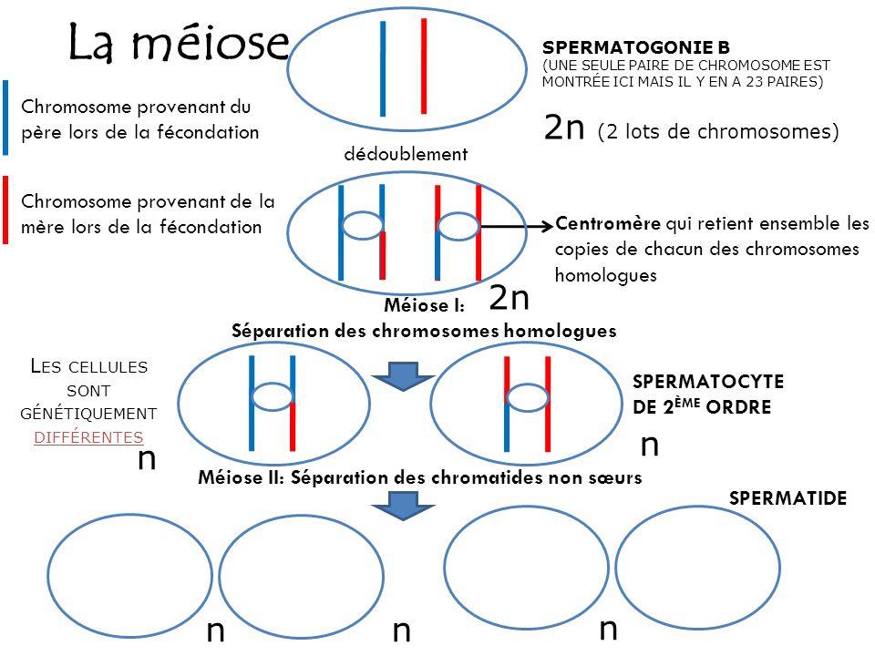 Séparation des chromosomes homologues