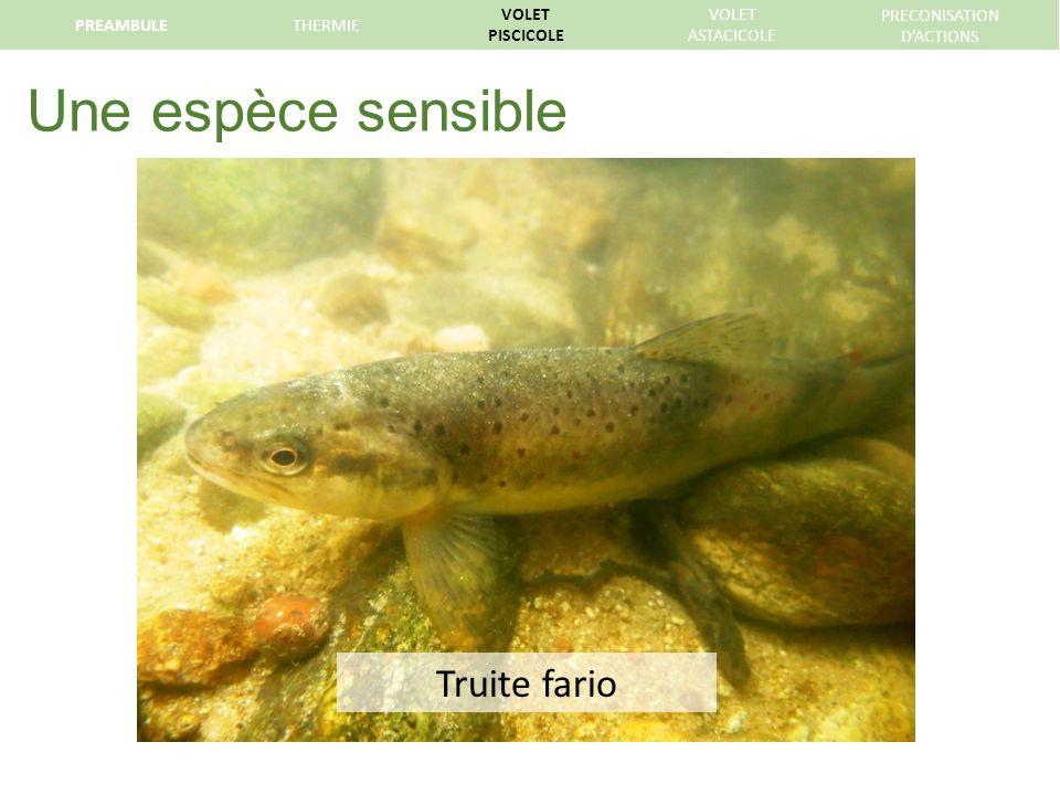 Une espèce sensible Truite fario PREAMBULE THERMIE VOLET PISCICOLE