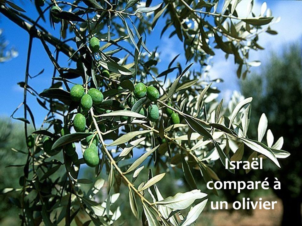 Israël comparé à un olivier