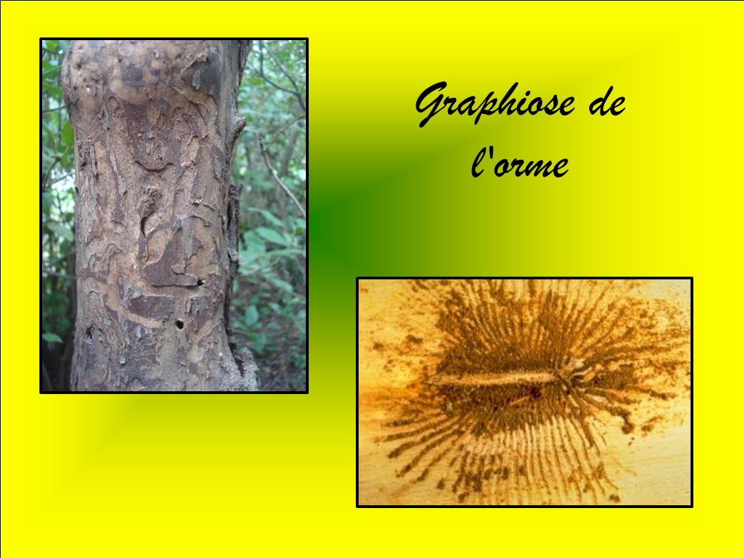 Graphiose de l orme