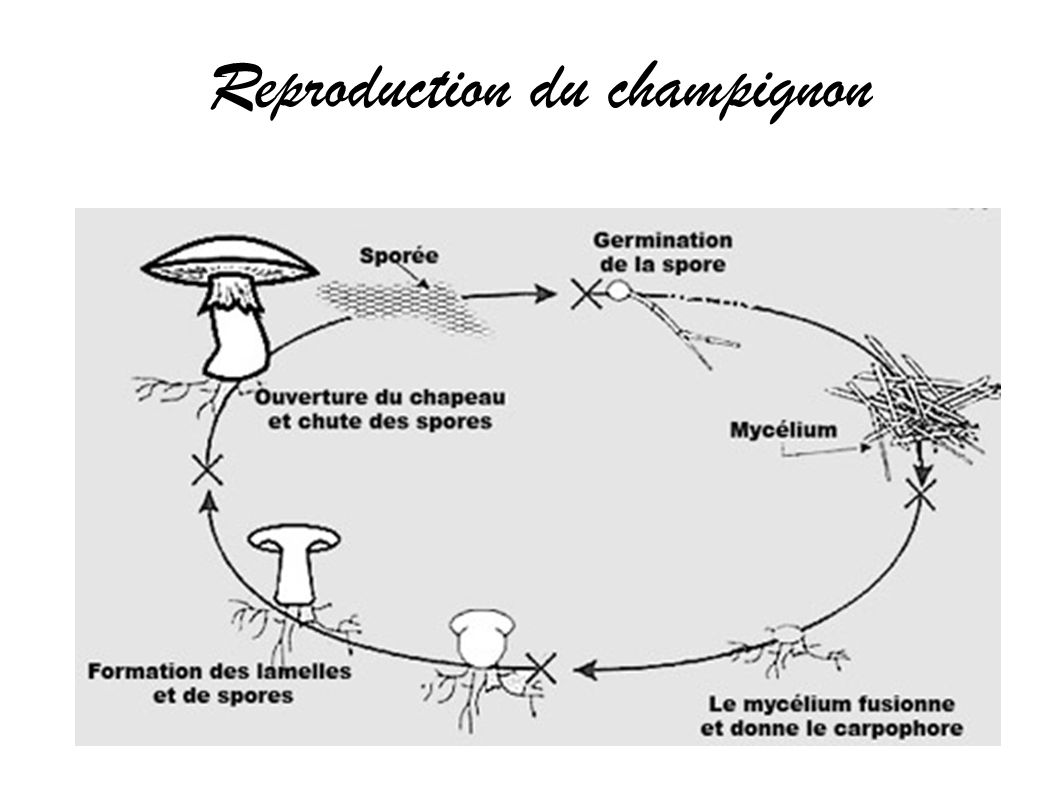 Reproduction du champignon