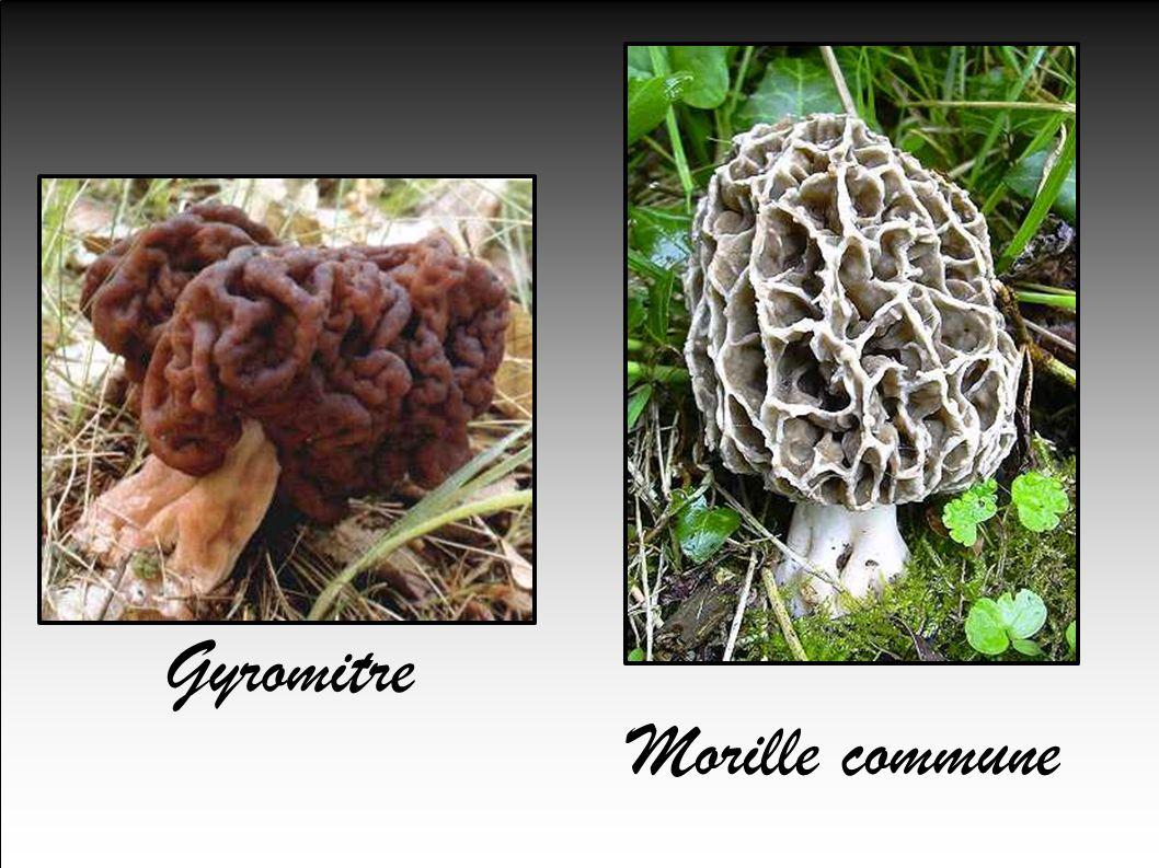 Gyromitre Morille commune