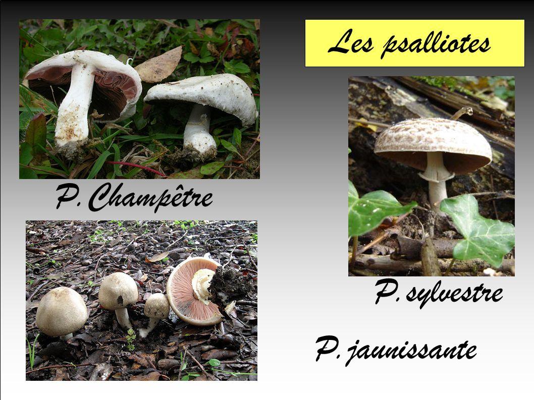 Les psalliotes P.Champêtre P.sylvestre P.jaunissante