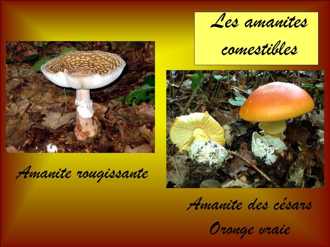 Les amanites comestibles Amanite rougissante Amanite des césars