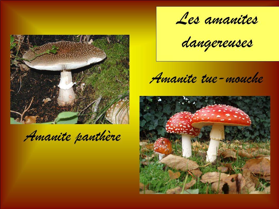 Les amanites dangereuses Amanite tue-mouche Amanite panthère