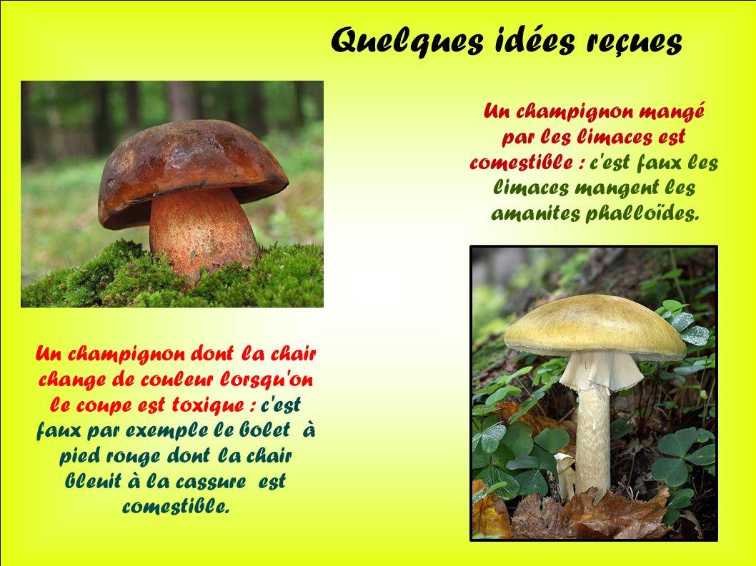 Quelques idées reçues Un champignon mangé par les limaces est comestible : c est faux les limaces mangent les amanites phalloïdes.