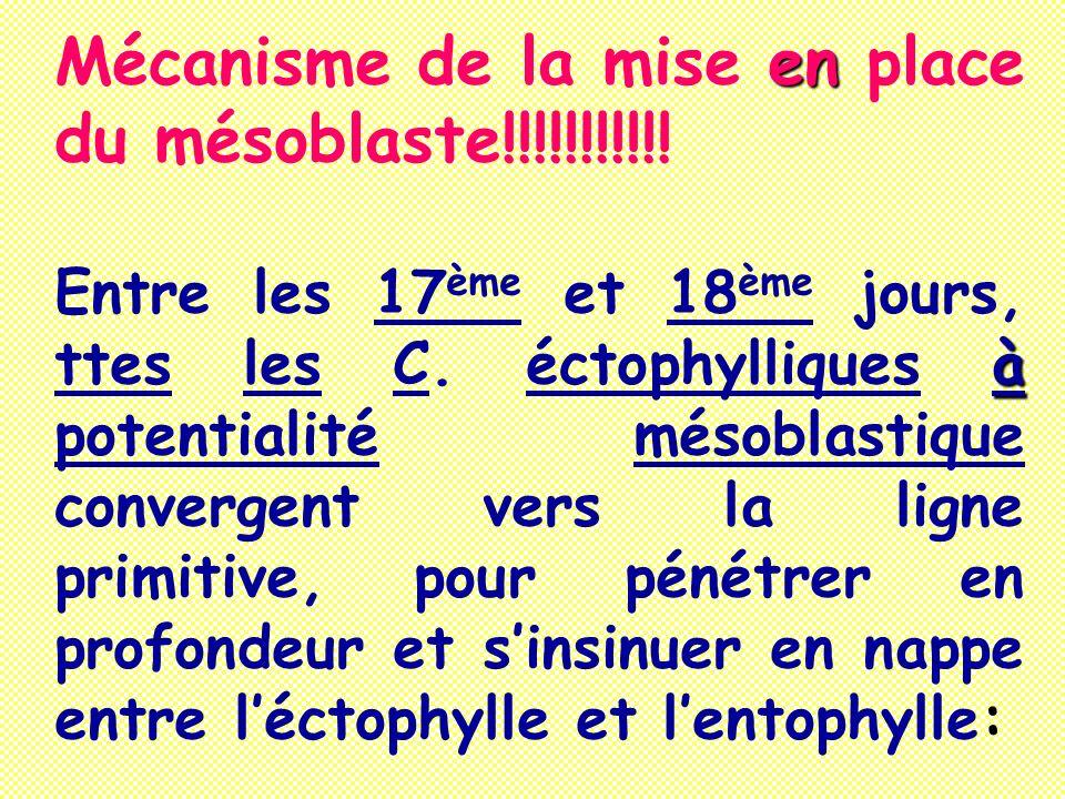 Mécanisme de la mise en place du mésoblaste!!!!!!!!!!!