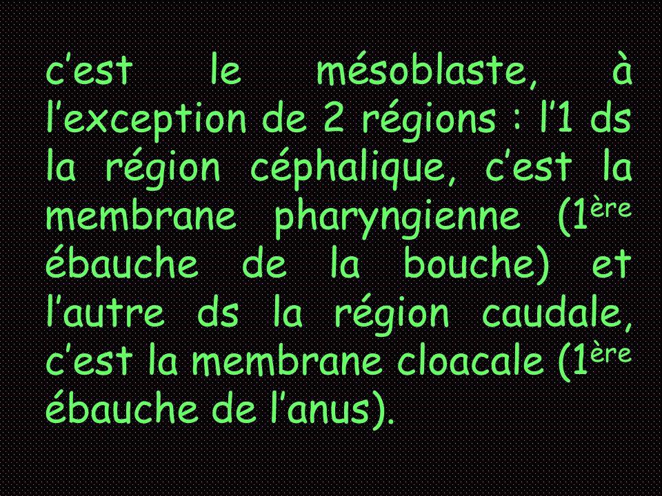 c'est le mésoblaste, à l'exception de 2 régions : l'1 ds la région céphalique, c'est la membrane pharyngienne (1ère ébauche de la bouche) et l'autre ds la région caudale, c'est la membrane cloacale (1ère ébauche de l'anus).