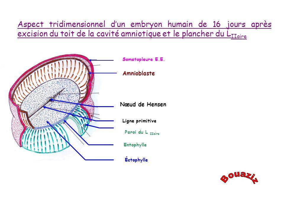 Aspect tridimensionnel d'un embryon humain de 16 jours après excision du toit de la cavité amniotique et le plancher du LIIaire