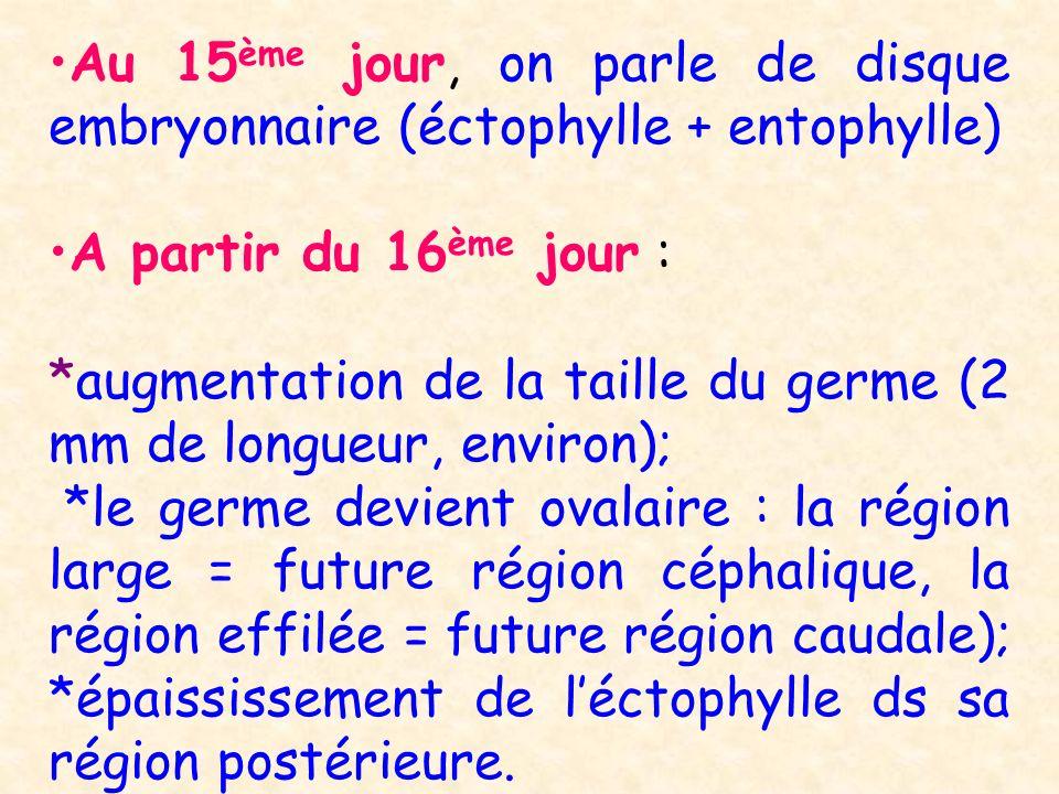 Au 15ème jour, on parle de disque embryonnaire (éctophylle + entophylle)
