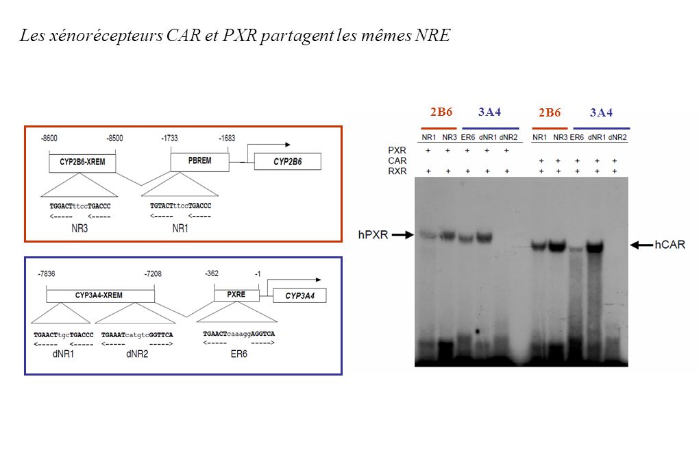 Les xénorécepteurs CAR et PXR partagent les mêmes NRE